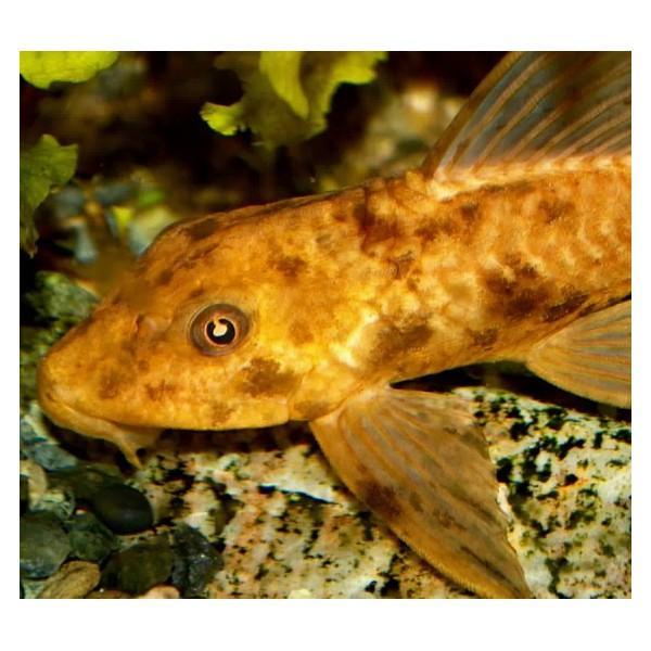 hypostomus-plecostomus-gold.jpg